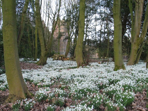 Snowdrops in Late Winter