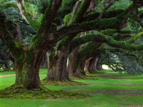 Live_Oaks_Oak_Alley_Plantation_Vacherie_Louisiana