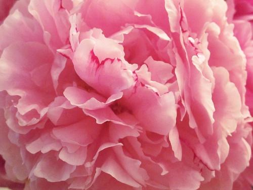 stunning-peonies-f915a30