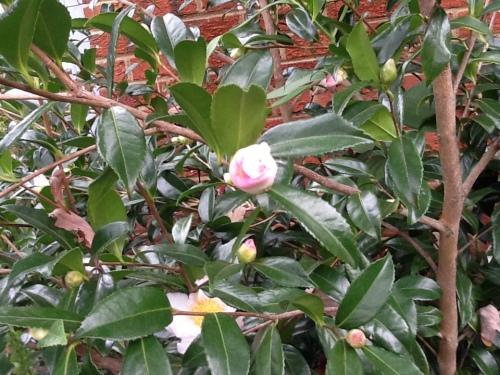 Autumn Camellias