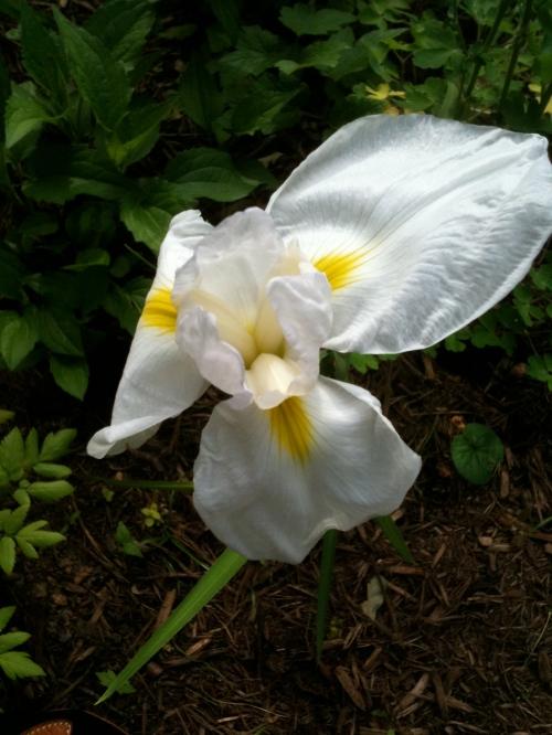 White Heron Iris