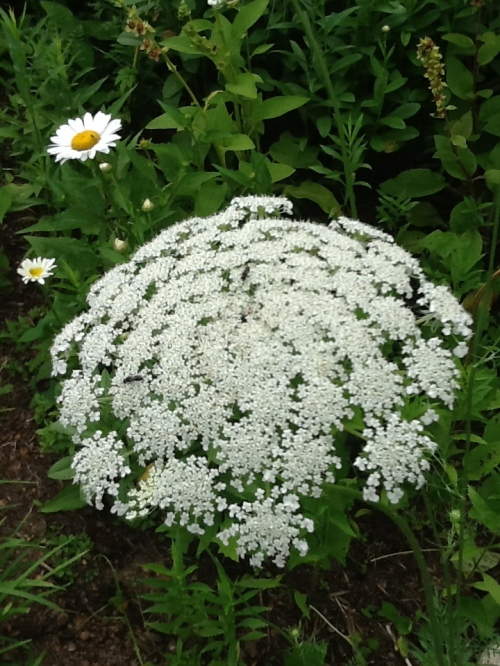 Queen Anne's Lace in Front Cottage Garden