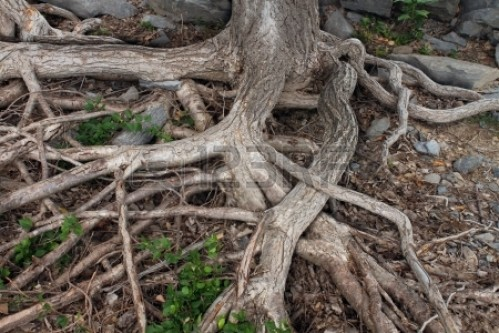 16456569-roots-from-a-large-tree-trunk-exposed-due-to-erosion-and-drought-tangled-and-spreading-on-a-forest-f