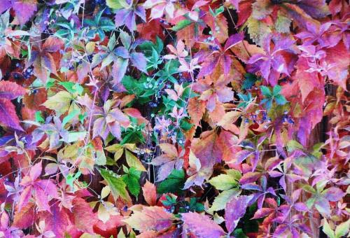 autumn-virginia-creeper-diane-alexander