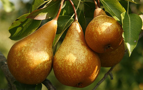 pear-edible