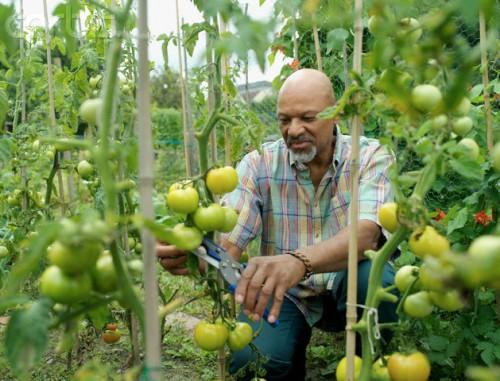 Man Gardening Tomatoes