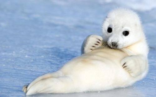 l-Harp-Seal-pup-resting-on-the-ice.