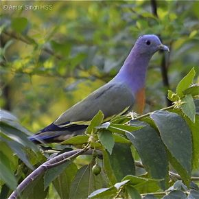 PigeonPNG-cherry-AmarSingh