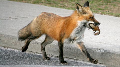 fox-ducklover-bonnie-e