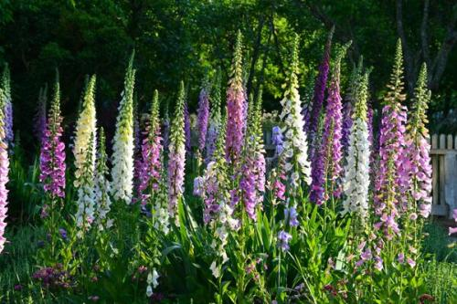 sow-foxgloves