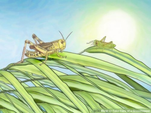 aid403634-v4-728px-Take-Care-of-a-Grasshopper-Step-8
