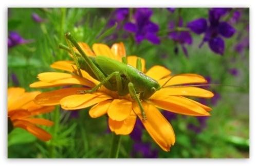 grasshopper_on_a_flower-t2