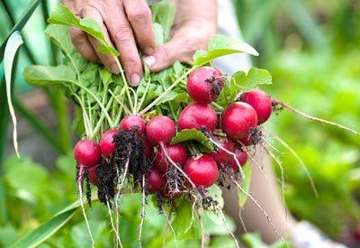 radish-crop.jpg