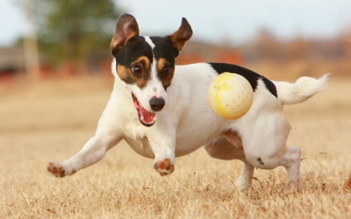 dog-with-ball-1
