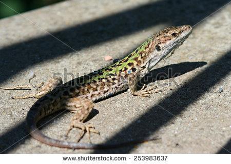 stock-photo-green-lizard-on-shadows-stripes-on-the-land-on-ischia-island-253983637
