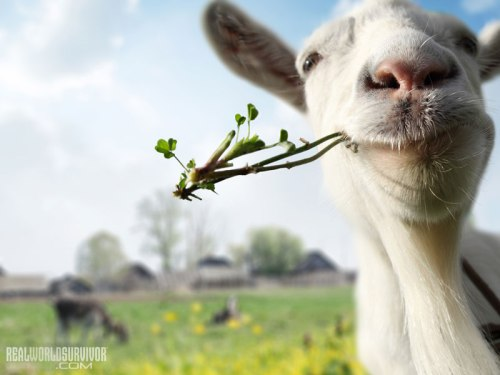 bigstock-Funny-goat-grazing-on-a-spring-45934036