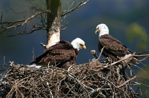 bal-pennsylvania-eaglets-fight-over-food-in-nest-20150326