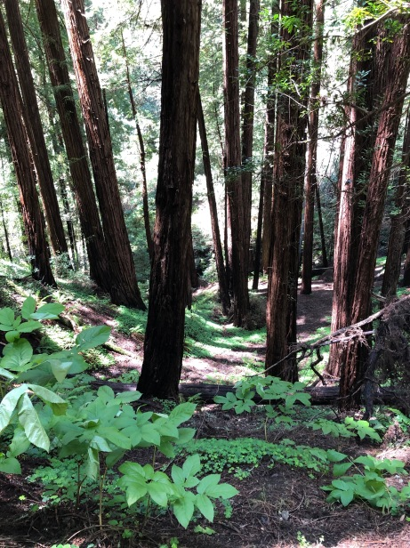 redwood grove at Muir Woods National Monument