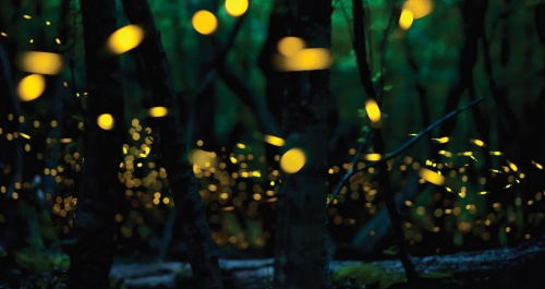 Fireflies-Facts-Weather-615623578
