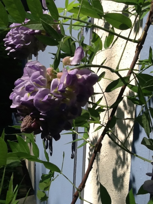 The Wisteria Blooms Are a Memory