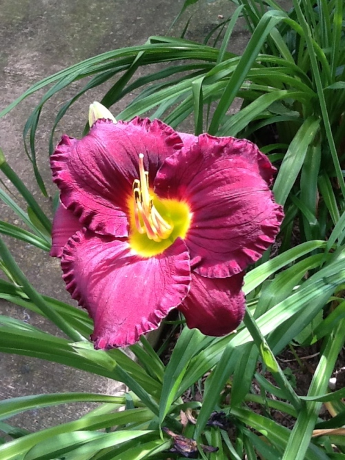 The Bella Lugosi Day Lilies Were the First to Bloom this Year, but are Now Done