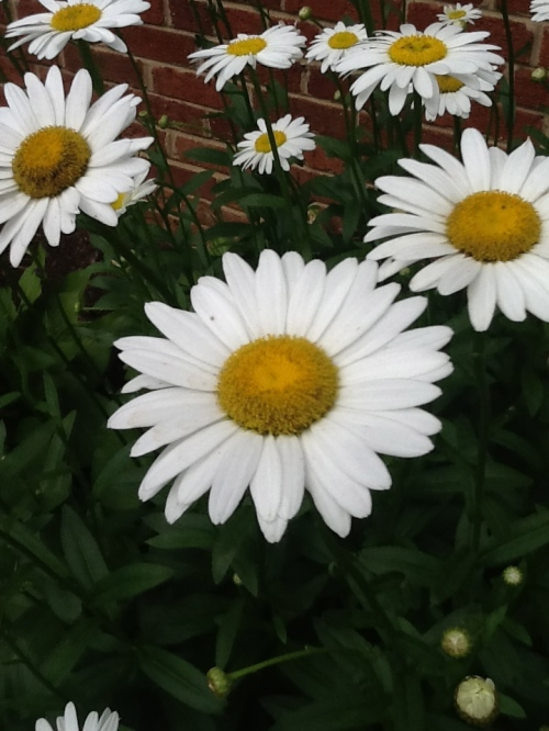 Now, the Daisies Are Everywhere