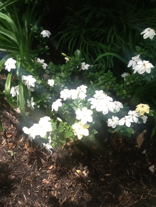 The Gardenias Have Perfumed the Garden and Are Resting