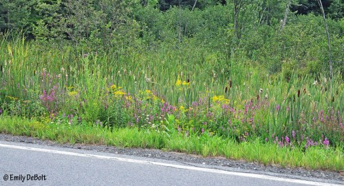 roadside-with-purple-loosestrife-for-web