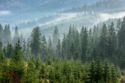 dense-pine-forest-morning-mist-foggy-pine-forest_74782-341