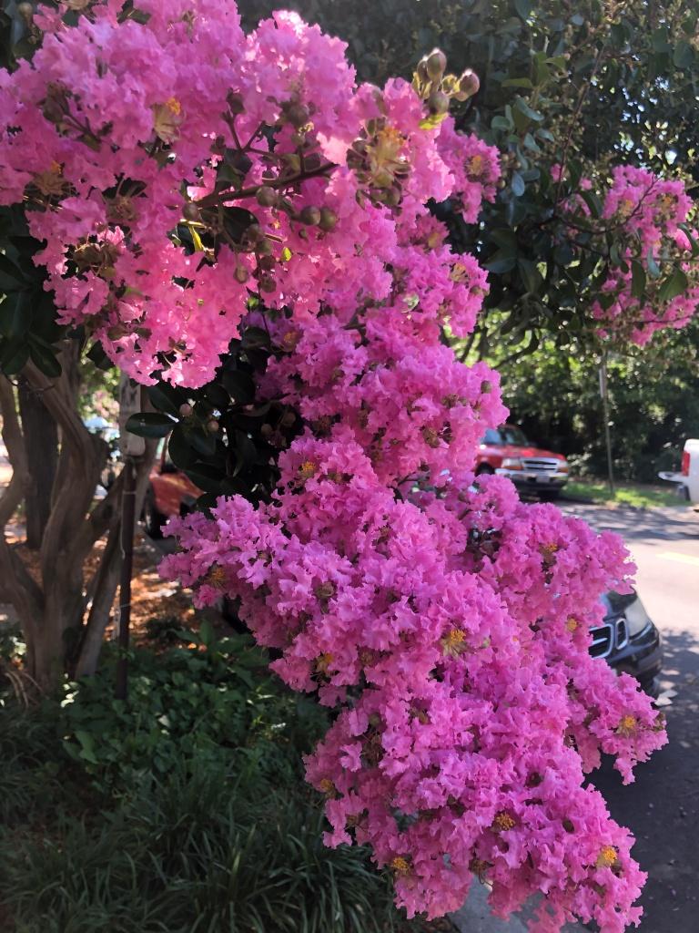 pink crepe myrtle blossoms